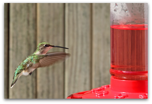 hungry hummer about to feed
