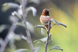 Allen's hummingbird perching