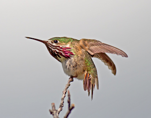 Calliope Hummingbird on a twig