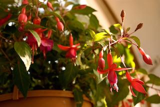 Red Fuchsia in Pot