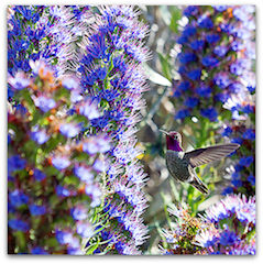 Anna's hummingbird in nectar heaven
