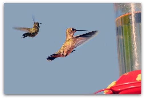 2 hummingbirds approaching feeder
