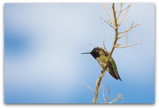 Black-chinned Hummingbird rests between feedings