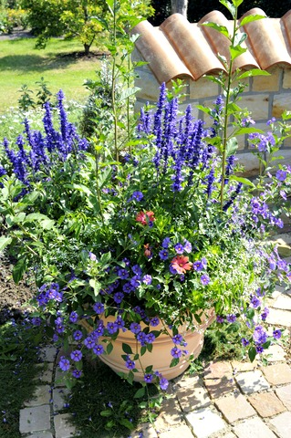 Blue/Violet Salvia with Petunias in Pot