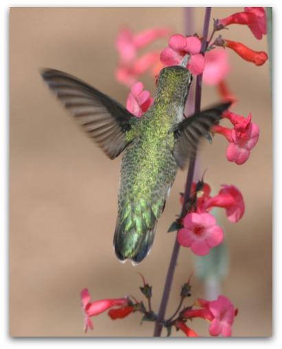 Broad-tailed Hummingbird feeding