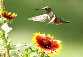 Broad-tailed hummingbird in flight