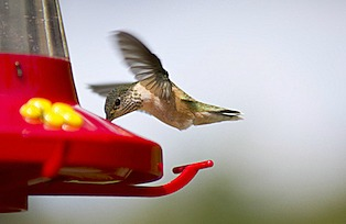 Tiny Caliope hummingbird