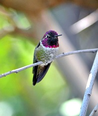 Brilliant Costa's hummingbird