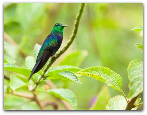 beautiful Fork-tailed Woodnymph hummingbird