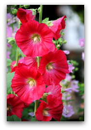 Hollyhock flower