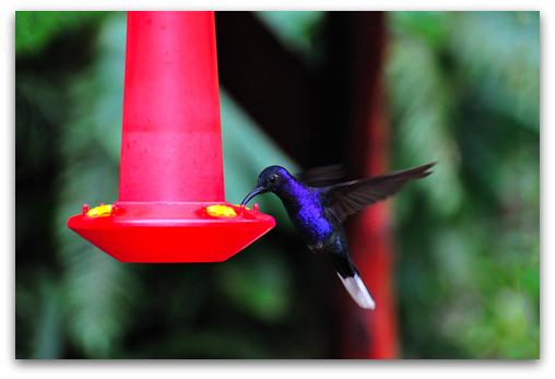 hummingbird eating homemade nectar