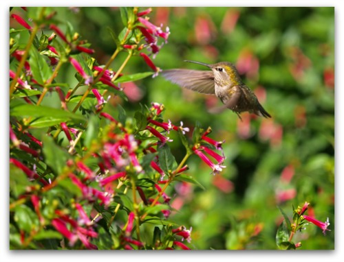 learn to create your own hummingbird garden