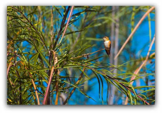 one example of the hummingbird habitat