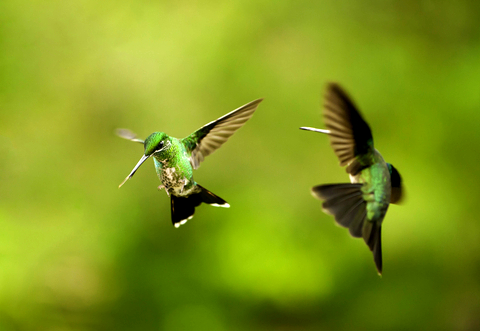 the hummingbird mating dance