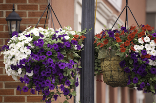 Petunias in Hanging Pots