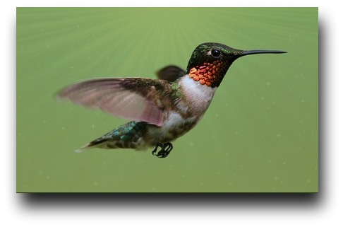 Ruby-throated hummingbird - The Curious George Hummer
