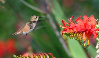 Rufous hummingbird hovering at flower