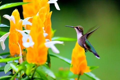 Shrimp plant & Rubythroated Hummingbird