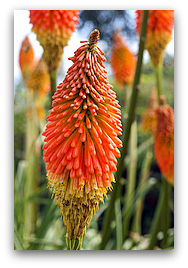 Red-hot Poker (Torch Lily) flower