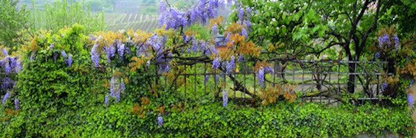 Wisteria Growing on Fence