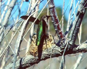 Hummingbird at Nest