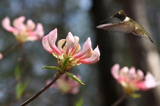 Black-chinned hummingbird going for the nectar