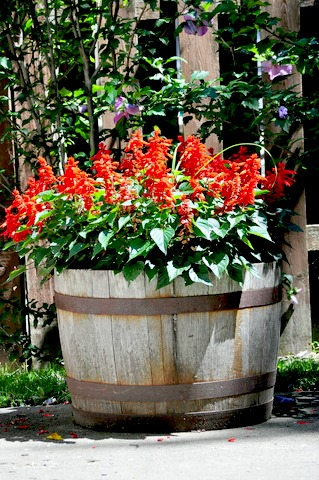 Red Salvia in Whiskey Barrel