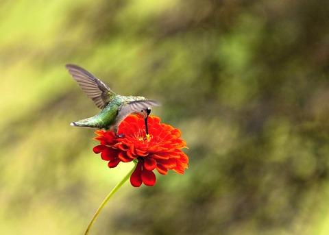 Zinnia Flower & Hummingbird